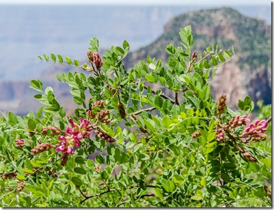 Blooming New Mexico Locust from Lodge North Rim Grand Canyon National Park Arizona