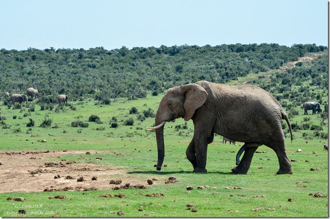 Elephants Addo Elephant National Park South Africa