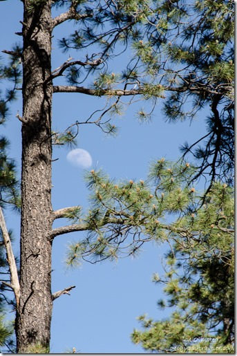 Moon thru trees Kaibab National Forest Arizona