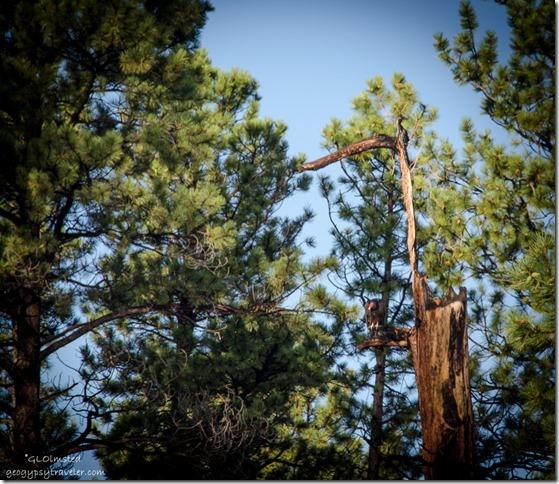 Turkey Vulture in tree along SR67 N Kaibab National Forest Arizona