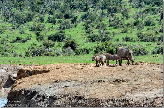 Warthogs Addo Elephant National Park South Africa