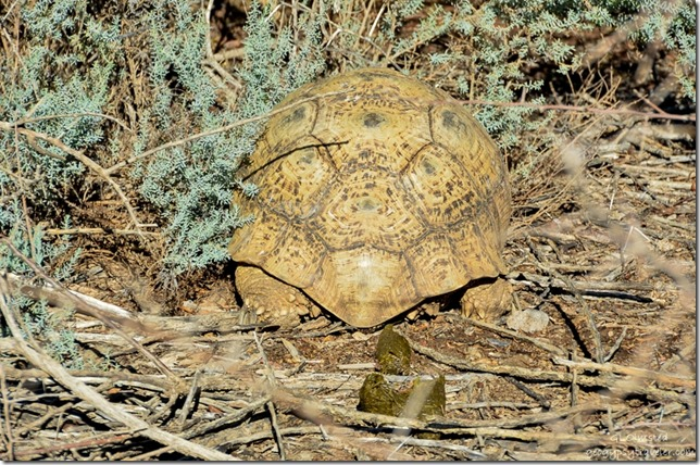 Tortoise pooping Augrabies Falls National Park South Africa