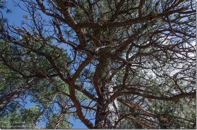 Looking up Ponderosa Pine Widforss Trail North Rim Grand Canyon National Park Arizona