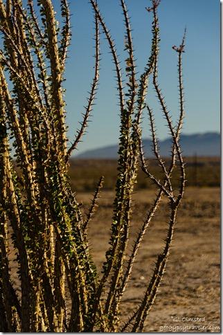 Ocotillo by camp Anza-Borrego Desert State Park California