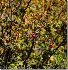Rosehips Marble View Kaibab Kaibab National Forest Arizona