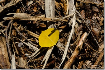 One yellow aspen leaf FR219 Kaibab Kaibab National Forest Arizona