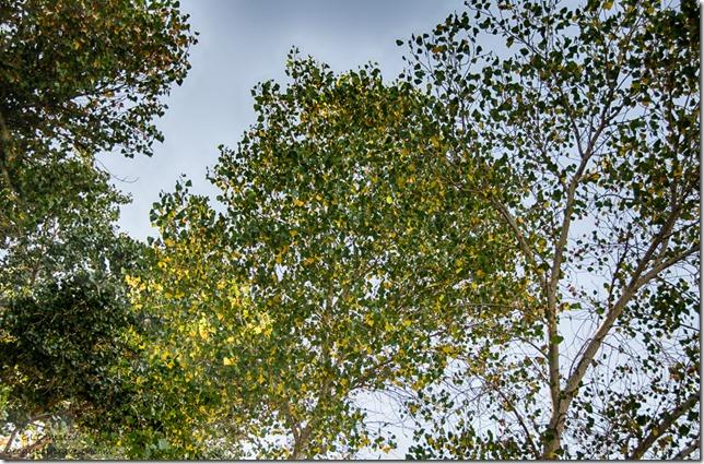 Fall Poplar near RV Kirkland Arizona