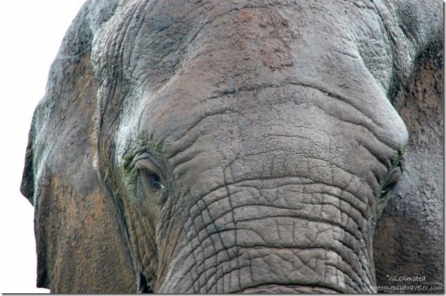 Elephant eyes Kruger National Park South Africa