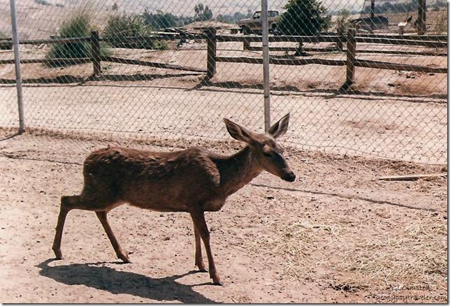 Blossom Mule Deer California Living Museum Bakersfield California