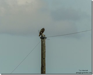 Hawk on electric pole SR89 Arizona