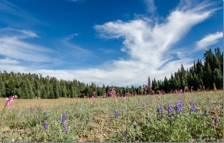 Wildflowers Big Basin North Rim Grand Canyon National Park Arizona
