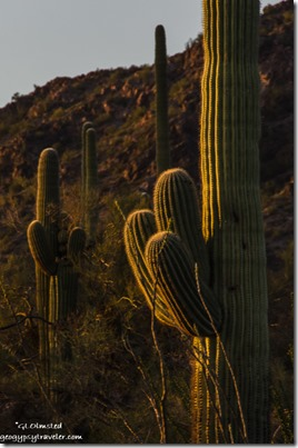 Sunset on saguaros Darby Well Road BLM Ajo Arizona