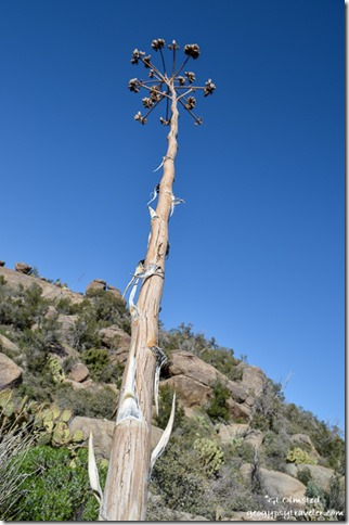 Century plant Weaver Mountains Yarnell Arizona