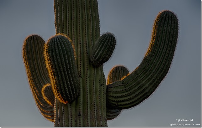 Sunset glow saguaro Darby Well Road BLM Ajo Arizona