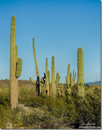 Saguaros Darby Wells Road BLM Ajo Arizona