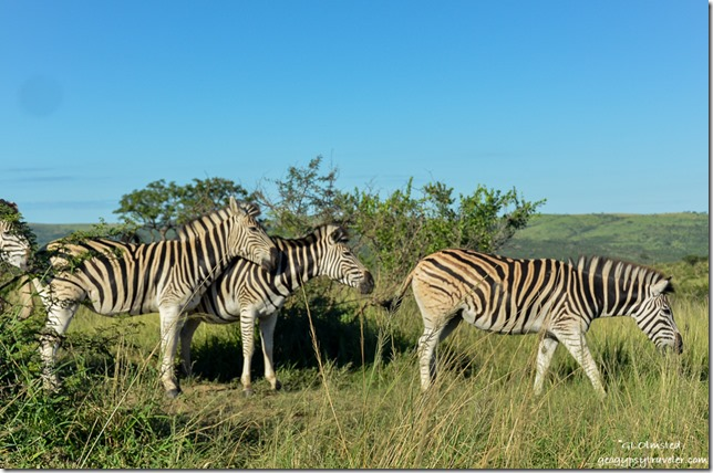 Zebras Hluhluwe iMfolozi National Park South Africa