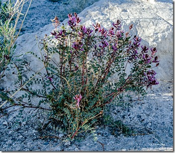 Unidentified purple flowers Point of Rocks Ash Meadows National Wildlife Refuge Nevada