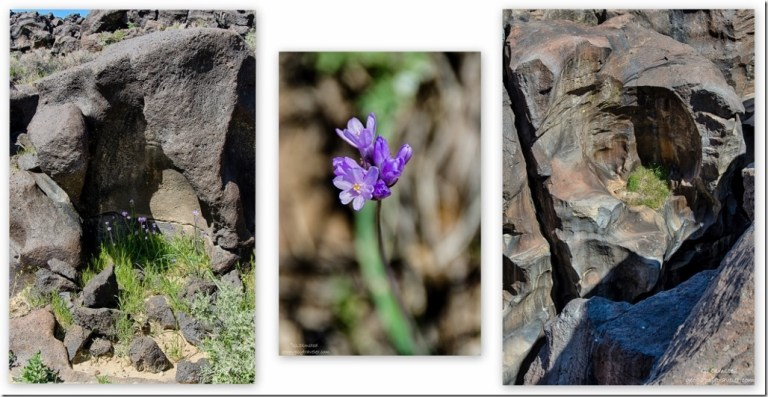 Desert Hyacinth Fossil Falls BLM Little Lake California