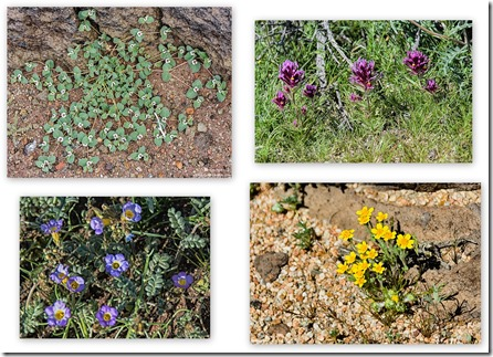 Rattlesnake weed, Purple Owl's clover, unidentified & Phacelia Fossil Falls BLM Little Lake California