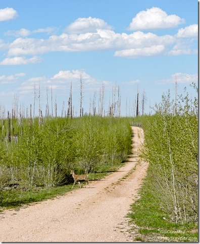 2006 Warm fire deer aspen snags FR241 East Kaibab National Forest Arizona