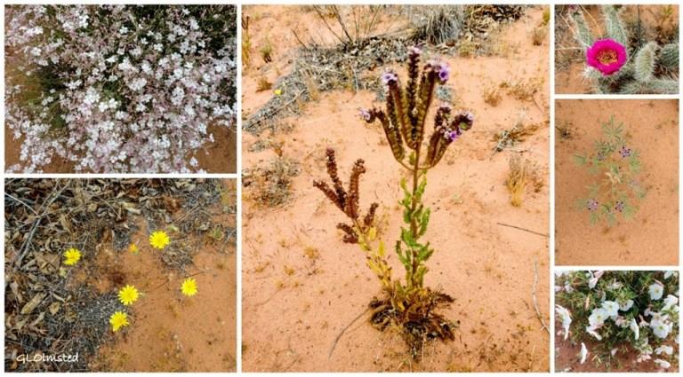 Phlox Phacelia Prickly pear Lupine Primrose Desert dandelion Page Arizona