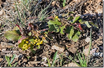 flowering Oregon Grape FR241 Kaibab National Forest Arizona