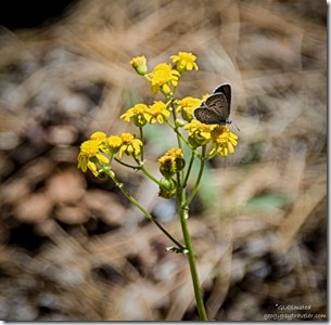 blue butterfly on ragweed Cape Royal trail North Rim Grand Canyon National Park Arizona