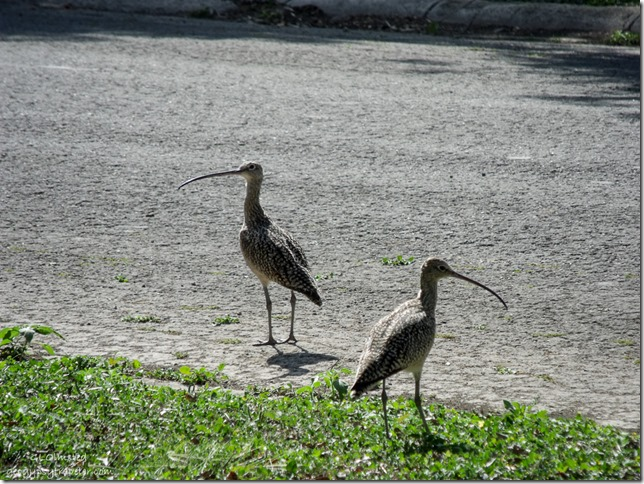 Long-billed curlews San Benito Texas