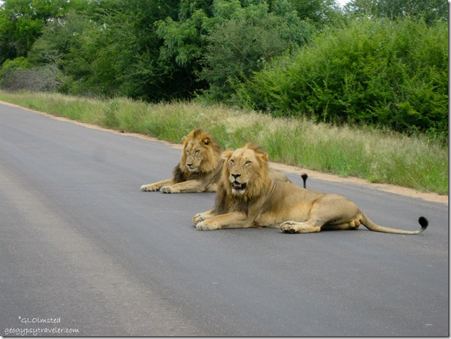 Male lions Kruger National Park Mpumalanga South Africa