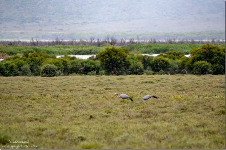 Gray-headed Cranes Camdeboo National Park Eastern Cape Graaff-Reinet South Africa