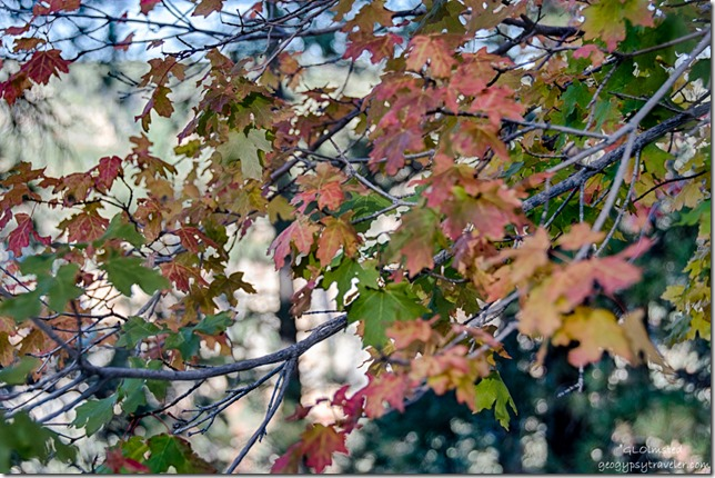 fall maple leaves North Rim Grand Canyon National Park Arizona