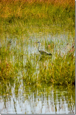 Heron Mankwe Dam Pilanesberg Game Reserve South Africa