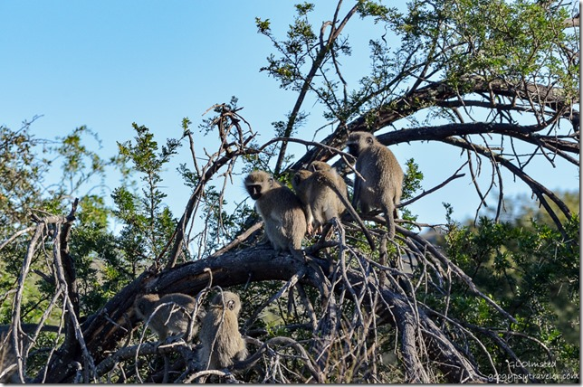 Vervet monkeys Mountain Zebra National Park South Africa