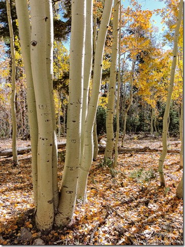 fall aspen FR219 Kaibab National Forest Arizona