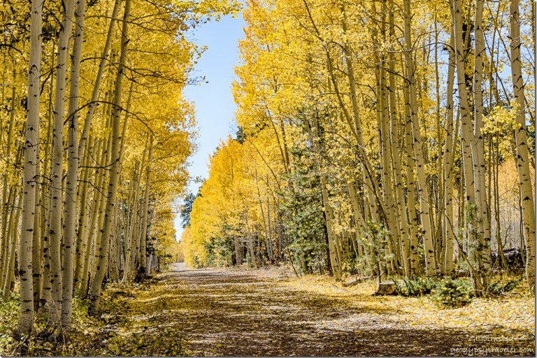 golden aspen tree tunnel FR219 Kaibab National Forest Arizona