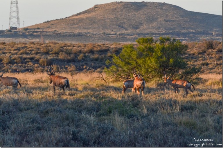 Red Hartebeests Karoo National Park South Africa
