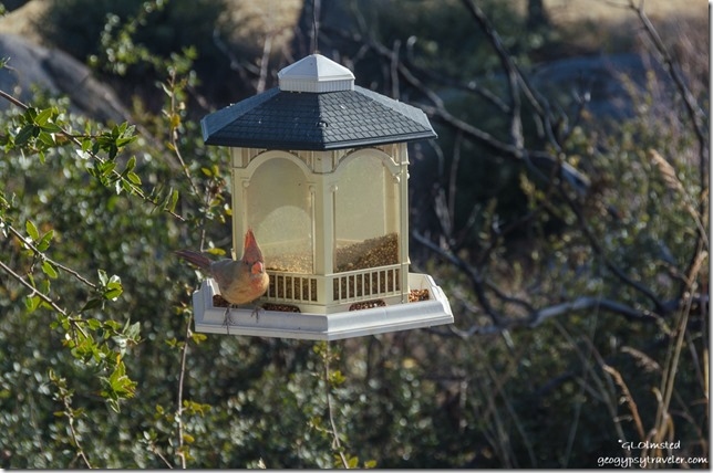 Lady Cardinal bird on feeder Yarnell Arizona