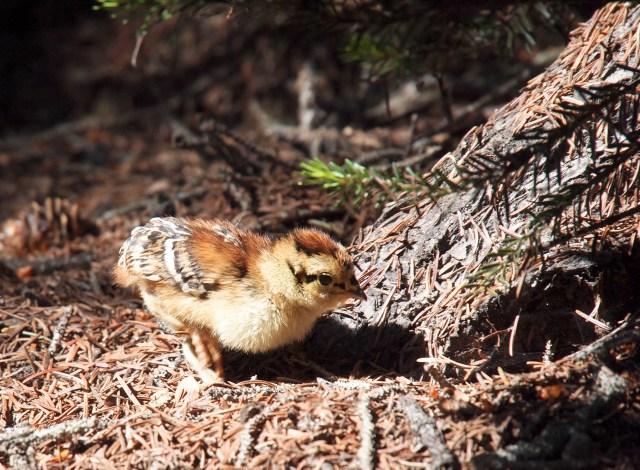 Rock Ptarmigan chick