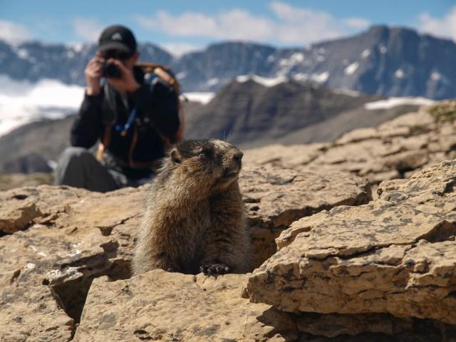 Hoary marmot at saddle below Cirque Peak