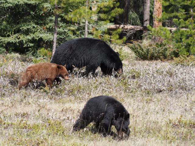 Black bear and cubs