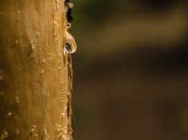 Tears of a Tree