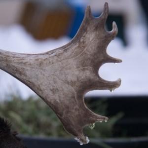 reindeer-antler