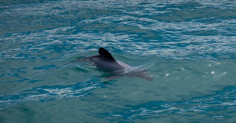 Hectors-Dolphin