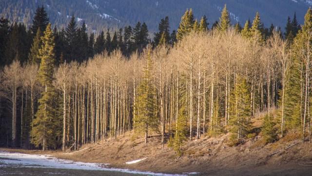 Birch-trees