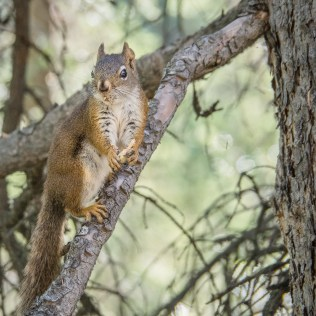 Squirrel-in-tree