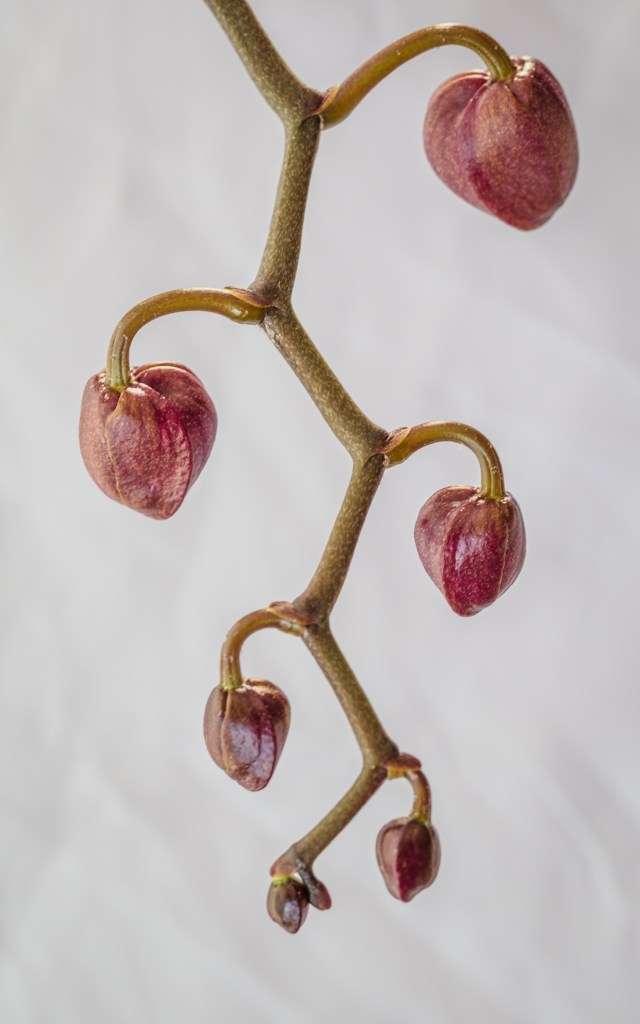 orchid-buds