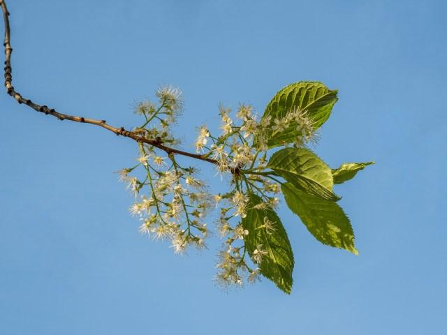Mayday-blossom