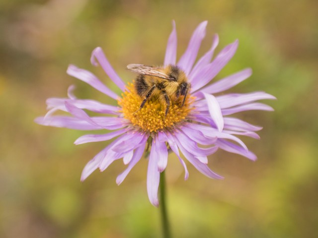 bee-on-fleabane