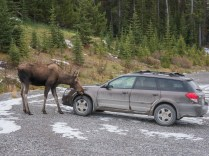 moose-licking-car