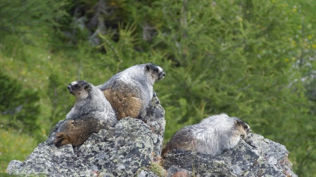 three marmots just off centennial ridge trail